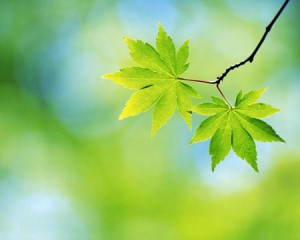 spring_leaf